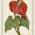 アンスリウム 花言葉 誕生花 イラスト