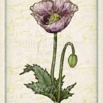 ケシ:芥子 花言葉 誕生花 イラスト