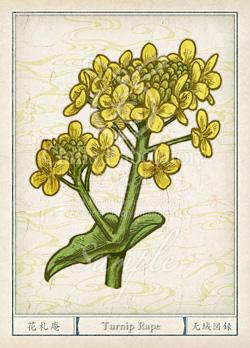 ナノハナ:菜の花 花言葉 誕生花 イラスト