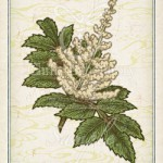 ヌルデ:白膠木 カチノキ:勝の木 花言葉 誕生花 イラスト