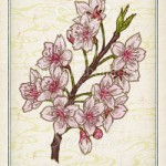 サクラ 桜 花言葉 誕生花 イラスト
