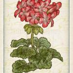 ゼラニウム 花言葉 誕生花 イラスト