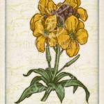 ニオイアラセイトウ ウォールフラワー 花言葉 誕生花 イラスト